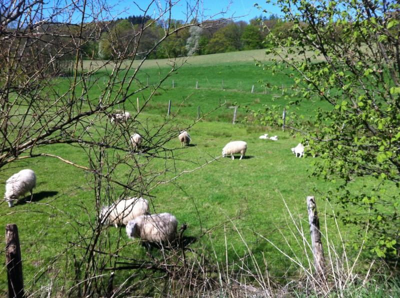 Schafe im Bergischen Land
