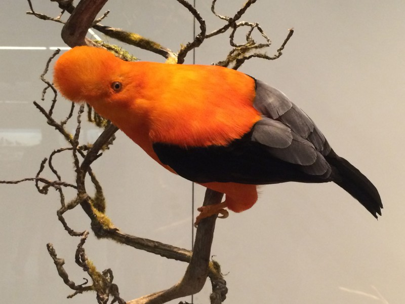 Naturkundemuseum Berlin - Zoologie - Andenfelsenhahn