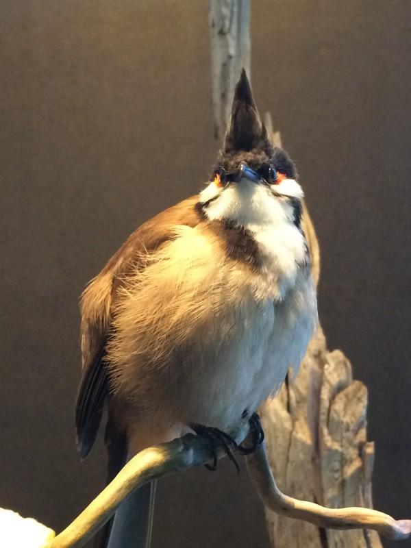 Naturkundemuseum Berlin - Zoologie Rotohrbülbül