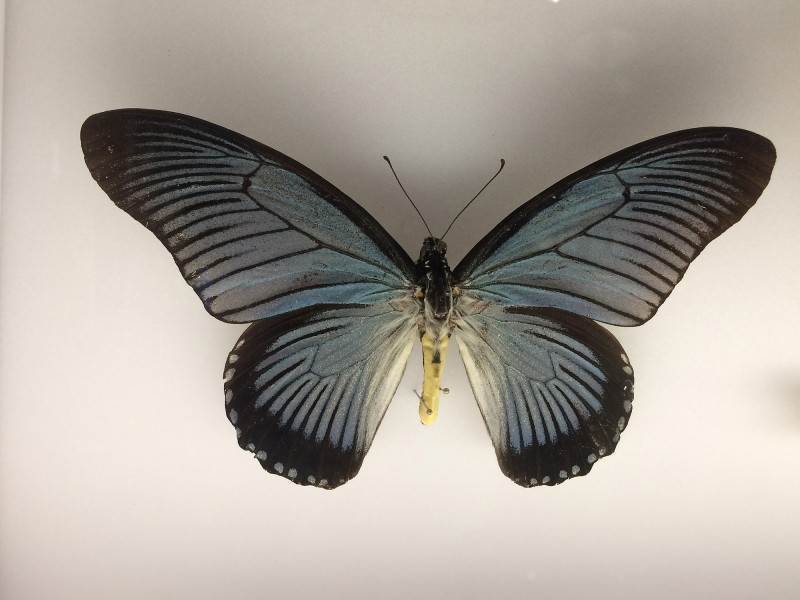 Museum Wiesbaden Dauerausstellung Natur - Schmetterling
