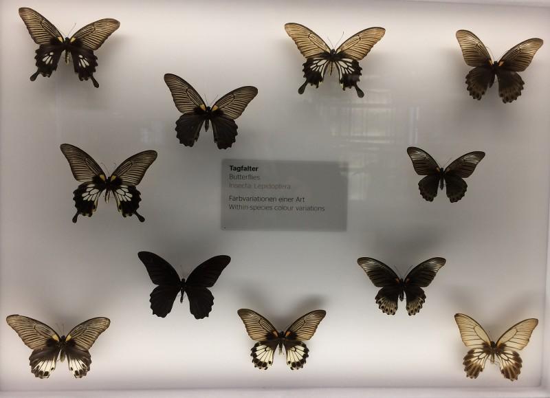 Museum Wiesbaden Dauerausstellung Natur - Schmetterlinge