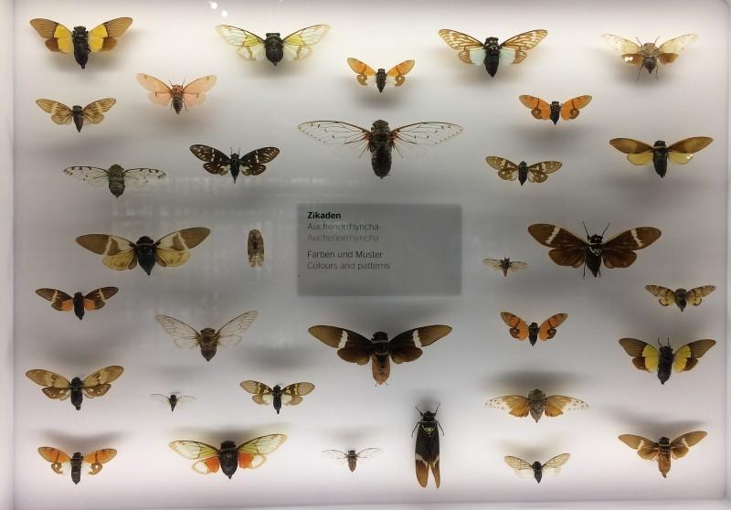 Museum Wiesbaden Dauerausstellung Natur - Zikaden