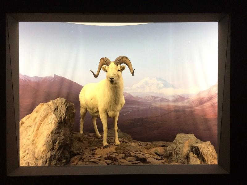Erich Boettcher - Alaska-Schneeschaf - Dall´s Sheep - 1997