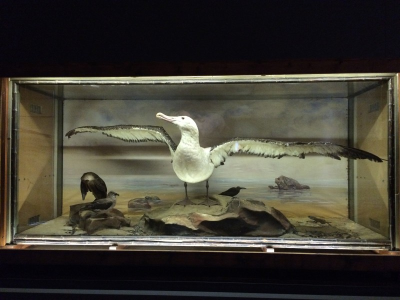 Rowland Ward - Buller-Albatros / Wandering Albatros - 1904