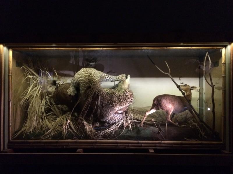 Rowland Ward - Leopard und Buschböcke / Leopard and Bushbuck - 1904