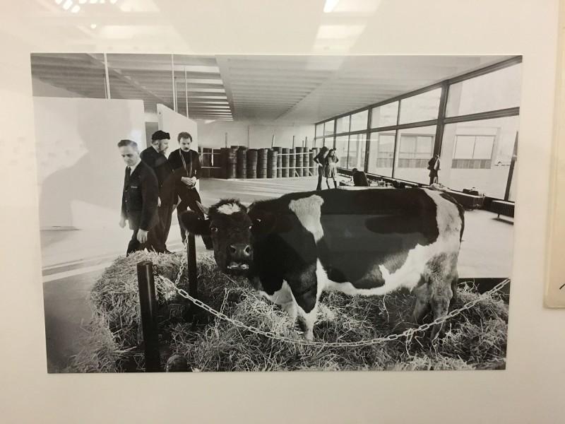 Kuh 1970 Wolf Vostell Fotografie von Balthasar Burkhard -  aus dem Ausstellungsbereich Fluxus und Happening in der Kunsthalle Duesseldorf - Harald Szeemann Museum der Obsessionen