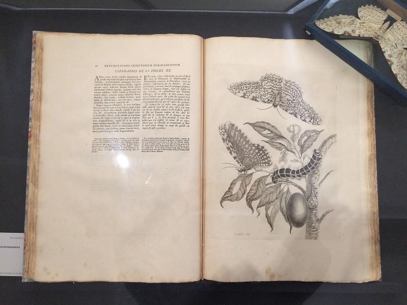Maria Sibylla Merian - Metamorphosis insectorum Surinamensium 1726 Den Haag 3. Auflage : 3rd edition - Original Buch von M.S. Merian - Museum Wiesbaden
