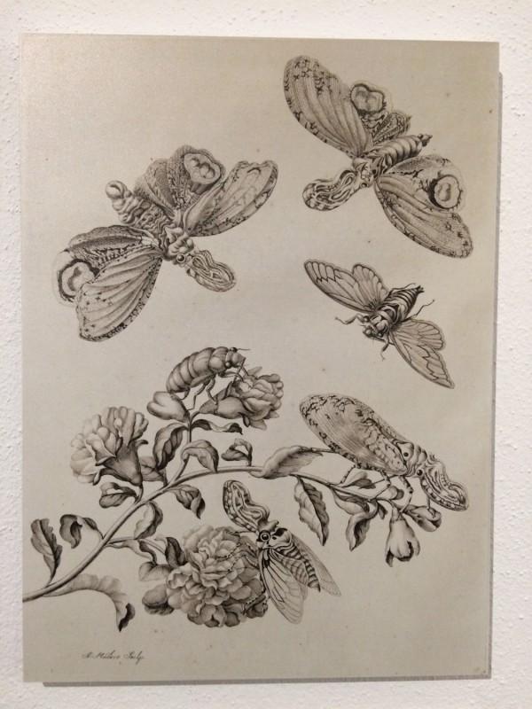 Maria Sibylla Merian Nachdruck Singzikade und Laternentraeger  Tafel 49 Museum Wiesbaden